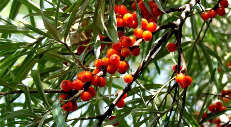 seabuckthorn.png