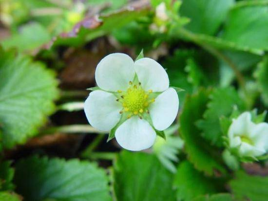 800px-plant_strawberry_flower (550x413, 24Kb)